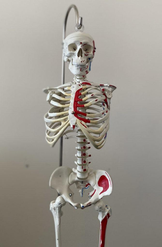 squelette-osteopathie